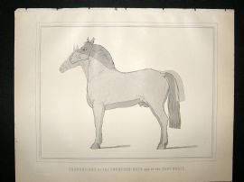 Miles Practical Farriery C1875 Antique Print. Proportions of Thoroghbred & Carthorse